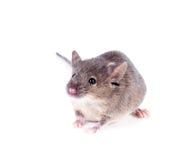 Une souris de maison commune (musculus de Mus) sur un fond blanc Image stock