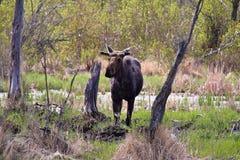 Une souris de taureau au printemps près d'un tronçon d'arbre image stock