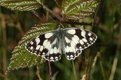 Une stupéfaction nouvellement a émergé galathea blanc marbré de Melanargia de papillon se reposant sur une feuille de mûre Photo stock
