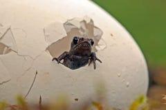 Une surprise plus aimable Amarrez la grenouille, enfants d'arvalis de Rana photo libre de droits