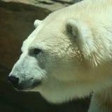 Une tête d'un ours blanc adulte Photographie stock