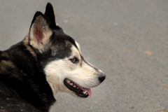 Une tête de chien enrouée de profil photographie stock