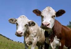 Une tête de vache photo libre de droits