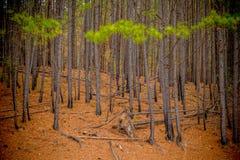 Une for?t d'arbres de pin image stock
