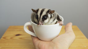 Une tasse de sugarglider photo stock