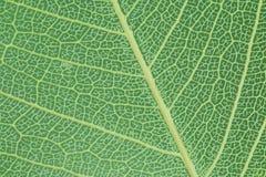 Une texture de feuille sous le microscope images libres de droits