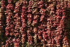 Une texture de grimpeur rouge avec des feuilles, Photographie stock