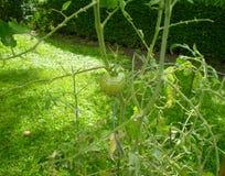 Une tomate verte là-dessus est vigne images libres de droits