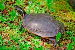 Une tortue Photographie stock libre de droits