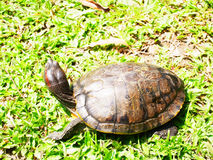 Une tortue Photographie stock