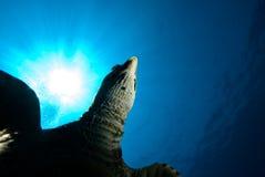 Une tortue de Hawksbill juvénile Image libre de droits