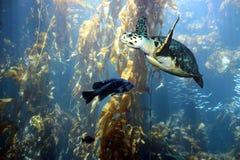 Une tortue de Hawksbill vole par la forêt de varech avec le goujon de mer Photos stock