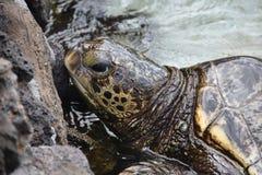 Une tortue de mer verte Images stock