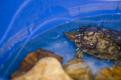 Une tortue ? la maison images stock