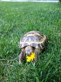 Une tortue mangeant la fleur Photographie stock