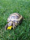 Une tortue mangeant la fleur Image stock