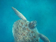 Une tortue nage Photos stock