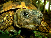 Une tortue regardant l'appareil-photo Photo libre de droits