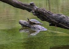 Une tortue Rouge-à oreilles de glisseur d'étang sur un rondin appréciant le soleil en rivière en parc de Watercrest, Dallas, le T image stock
