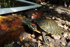 Une tortue rouge-à oreilles de glisseur sur des pierres, près d'un réservoir artificiel Durée sauvage photos stock