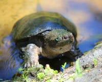 Une tortue verte émergeant de l'eau Image libre de droits