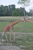 Une tour de girafe, zoo de Columbus, Ohio Photos stock