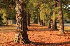 Une traînée des pins Photos stock