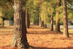 Une traînée des pins Photo stock