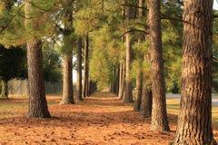 Une traînée des pins Photos libres de droits