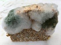 Une tranche de pain complet envahie avec des champignons de moule de nourriture Photo libre de droits