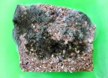 Une tranche de pain complet envahie avec des champignons de moule de nourriture d'un plat vert Photos libres de droits