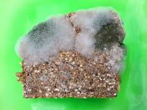 Une tranche de pain complet envahie avec des champignons de moule de nourriture d'un plat vert Photographie stock libre de droits