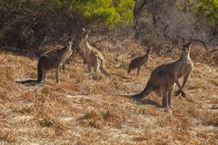 Une troupe de quatre kangourous images libres de droits