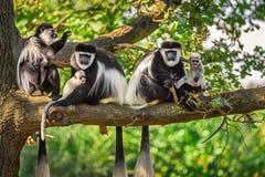 Une troupe de singes de guereza Mantled joue avec deux nouveaux-nés Photos libres de droits
