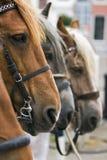 Une tête de cheval. Images libres de droits
