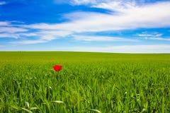 Une tulipe image libre de droits