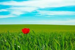 Une tulipe photo stock