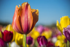 Une tulipe dans un domaine des fleurs photographie stock
