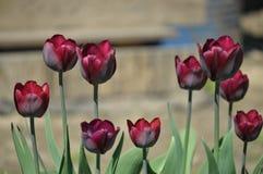Une tulipe de fleur avec la feuille verte sur un fond de jour d'été de ressort avec un domaine du design de plan rapproché de tul image stock