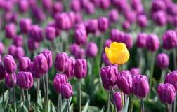Une tulipe jaune en mer de pourpre photo libre de droits