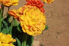 Une tulipe orange photos stock