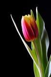 Une tulipe sur le noir Photographie stock libre de droits