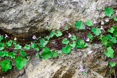 Une usine avec des fleurs et des feuilles vertes se développe sur une pierre Le concept de la force de survie et de vie Image libre de droits