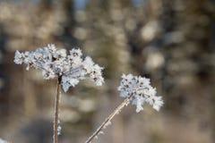 Une usine congelée de persil de vache pendant l'hiver image libre de droits