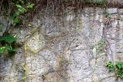 Une usine des lianes descend sur une roche de montagne image stock