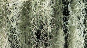 Une usine fleurissante : Mousse espagnole (usneoides de Tillandsia) Photos stock