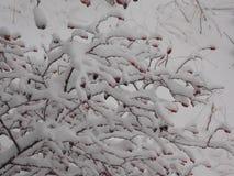 Une usine neigeuse ramifiée Images libres de droits