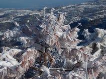 Une usine neigeuse ramifiée Photo libre de droits