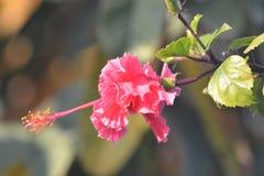 Une usine rose de fleur avec les feuilles vertes Photographie stock libre de droits