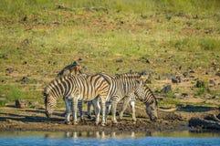 Une v?ritable exp?rience sud-africaine authentique de safari de bushveld dans une r?servation de jeu image stock